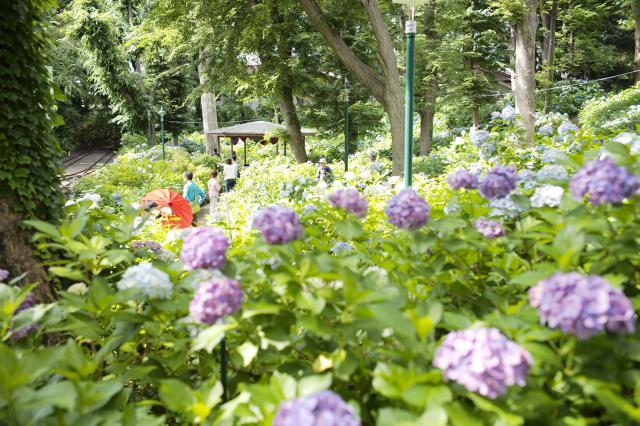 【AH練馬ガーデン】あじさいが見頃を迎えたので、豊島園の「あじさい祭り」に出かけてきました♪