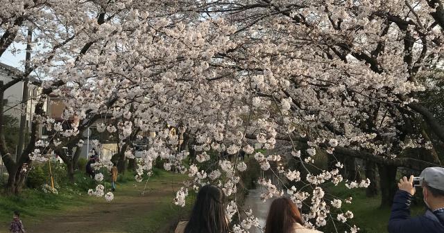【AH横浜いずみ中央】ドライブメインで、大和市の千本桜を見に行ってきました!